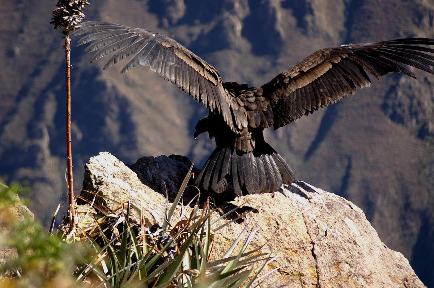 Andean Condor - Colca Canyon