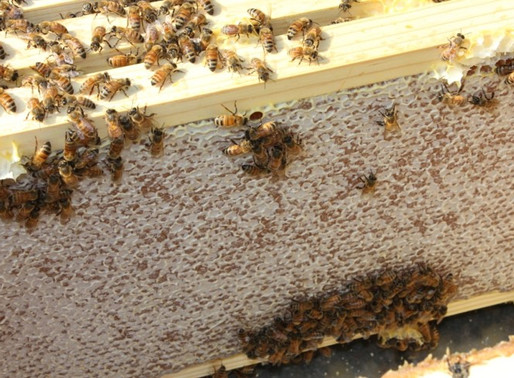 Follow Homer's Beekeeping! August 2020