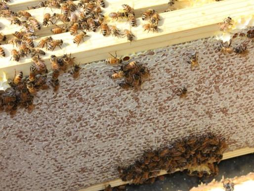 Follow Homer's Beekeeping! August 2020