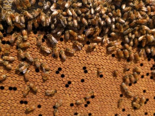 Follow Homer's Beekeeping! June 2020