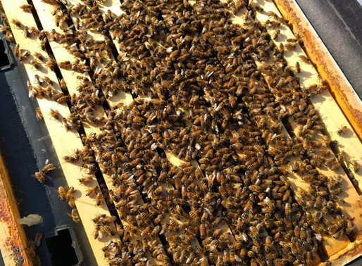 Follow Homer's Beekeeping! What I am doing in my Hives in March.