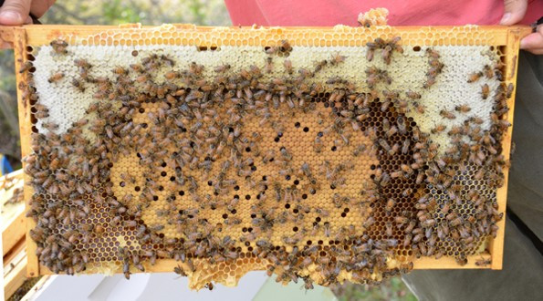 Honeybound frame (note honey and nectar right up to brood area