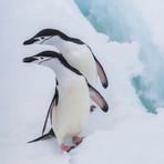 CHINSTRAP PENGUINS (Antarctica)