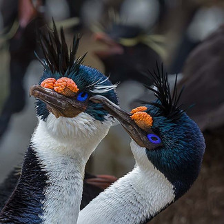 IMPERIAL SHAG (The Falkland Islands)