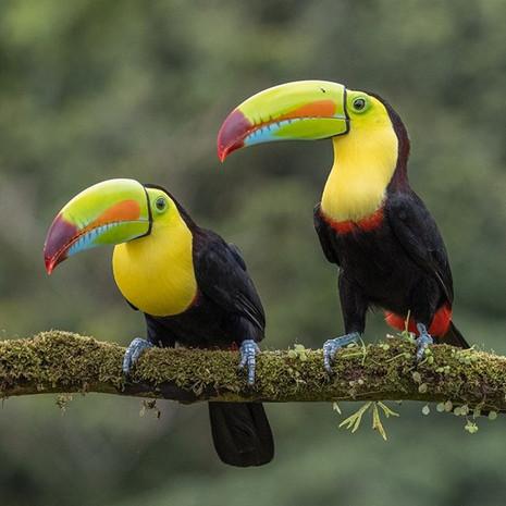 KEEL-BILLED TOUCANS (Costa Rica)
