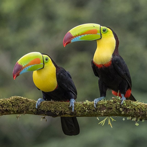 KEEL-BILLED TOUCANS (Costa Rica)