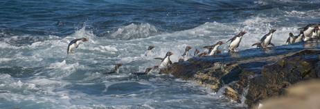 SOUTHERN ROCKHOPPER PENGUINS (The Falkland Islands)