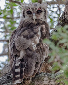 VERREAUX'S EAGLE-OWL (South Africa)