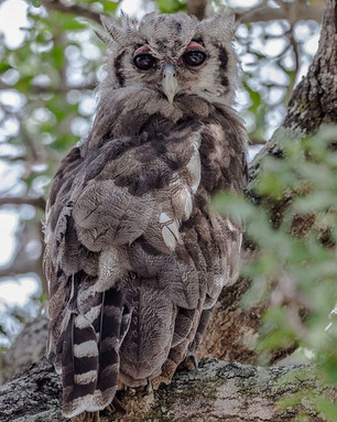 VERREAUX'S EAGLE-OWL (South Africa)