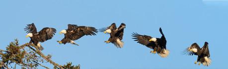 BALD EAGLE (Lopez Island, WA, USA)