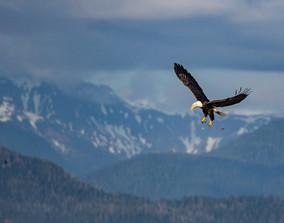 BALD EAGLE (Alaska)