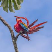 SCARLET MACAW (Peru)
