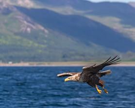 WHITE-TAILED EAGLE (Scotland)