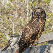 SHORT-EARED OWL and GALAPAGOS MOCKING BIRD
