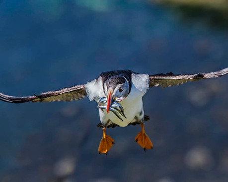 ATLANTIC PUFFIN (Scotland)