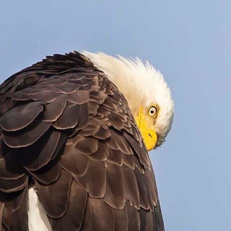 BALD EAGLE (British Colombia, Canada)