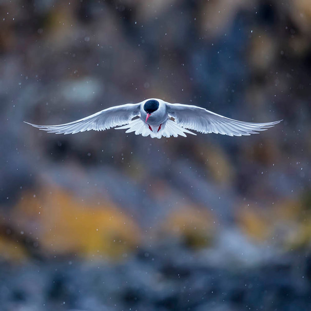 ANTARCTIC TERN (South Georgia Island)