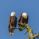 BALD EAGLES (Lopez Isalnd, WA)