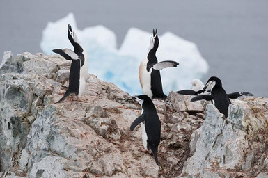 CHINSTRAP PENGUINS (Antarctica)