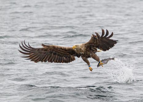 WHITE-TAILED EAGLE (Norway)