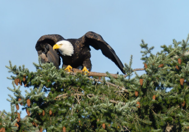 BALD EAGLE (Lopez Island, WA, USA)