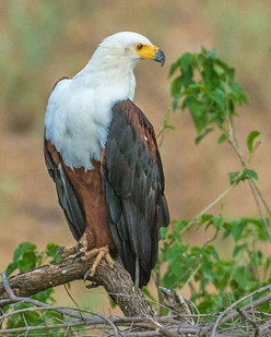 AFRICAN FISH-EAGLE (South Africa)