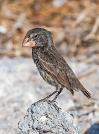 LARGE GROUND (Darwin's) FINCH (The Galapagos)