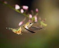 RUFOUS HUMMINGBIRD (Washington, USA)
