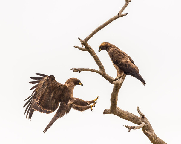 WAHLBERG'S EAGLES (South Africa)
