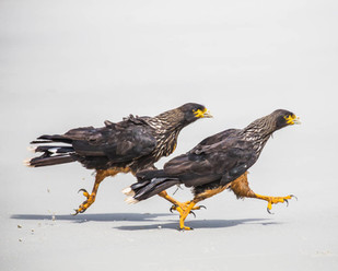 STRIATED CARACARAS (The Falkland Islands)