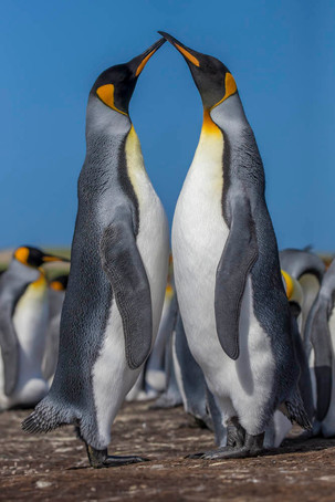KING PENGUINS (The Falkland Islands)