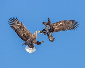 WHITE-TAILED EAGLES (Japan)