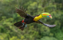 KEEL-BILLED TOUCAN  (Costa Rica)