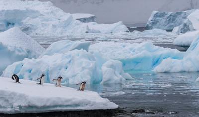 GENTOO PENGUINS (Antarctica)