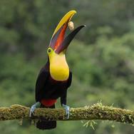 YELLOW-THROATED TOUCAN (Costa Rica)