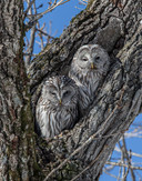 URAL OWLS  (Japan)