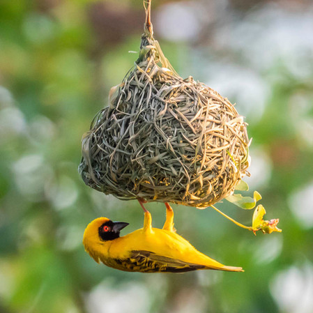 SOUTHERN-MASKED WEAVER (South Africa)