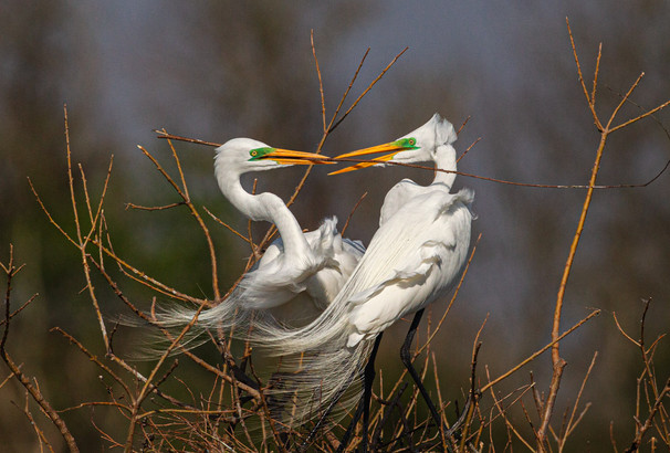 GREAT EGRETS (TX, USA)