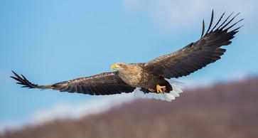 WHITE-TAILED EAGLE (Japan)