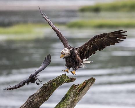 BALD EAGLE and RAVEN (Alaska)