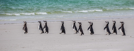 MAGELLANIC PENGUINS (The Falkland Islands)
