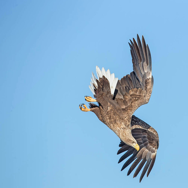 WHITE-TAILED SEA EAGLE (Japan)