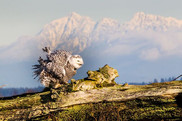 SNOWY OWL (British Colombia, Canada) (British Colombia, Canada)