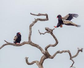 BATELEUR EAGLES (South Africa)