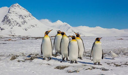 KING PENGUINS (South Gerogia)