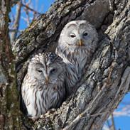 URAL OWLS