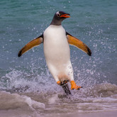 GENTOO PENGUIN (The Falkland Islands)