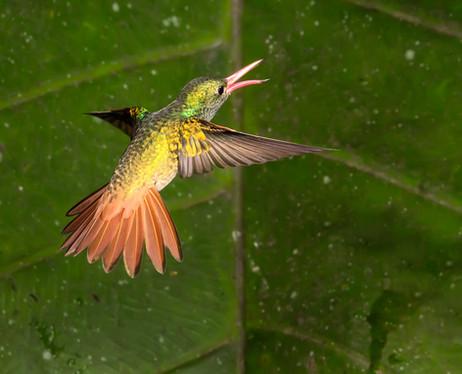 RUFOUS-TAILED HUMMINGBIRD (Ecuador)