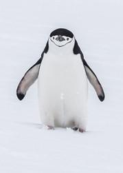 CHINSTRAP PENGUIN (Antarctica)
