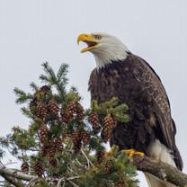 BALD EAGLE (Lopez Isalnd, WA)